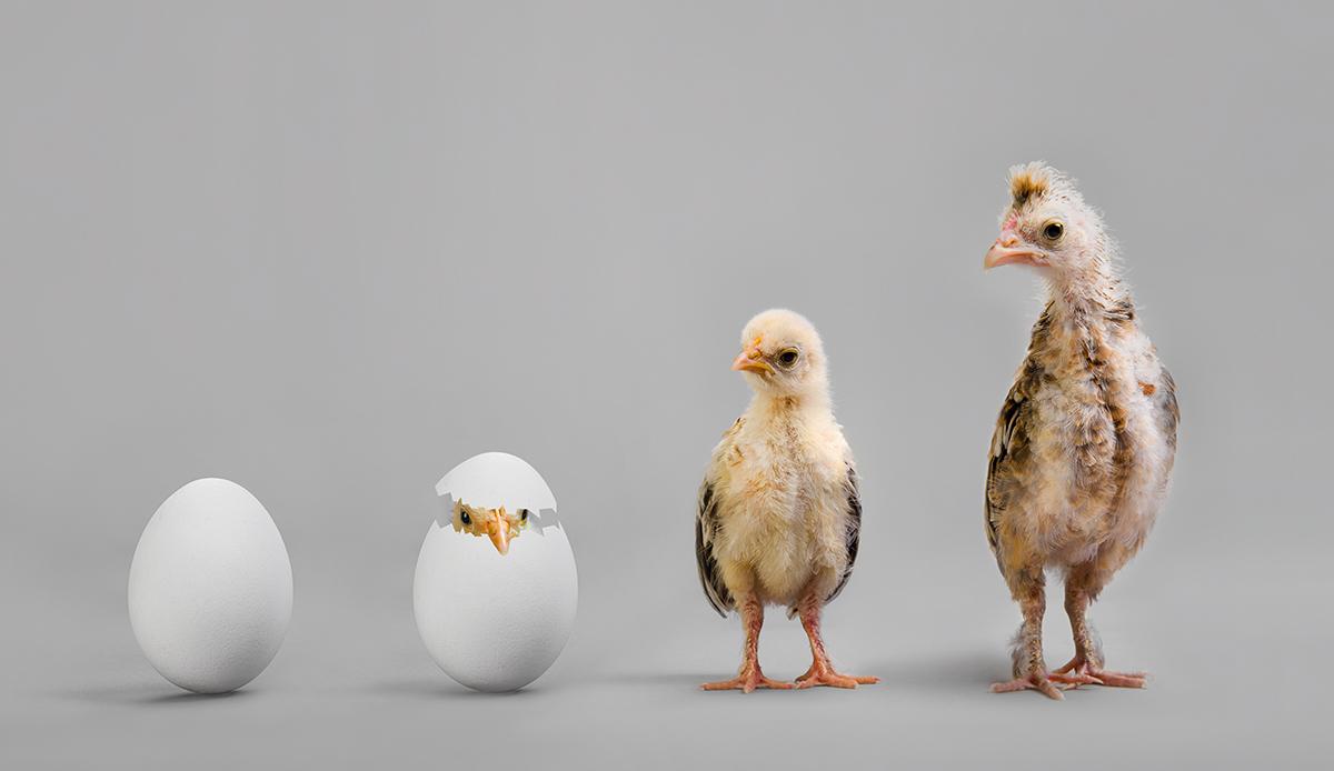 Chicken-Hatching